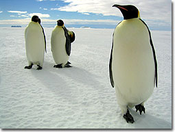 marcia_pinguini2_N